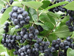 I will sell seedlings of Black mountain ash (Aronia)