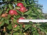 We sell apple seedlings on basins 54-118 - фото 3